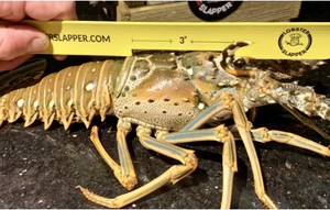 Lobster Slapper - Lobster Gauge