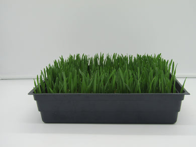 Millet Grass Growing Kit