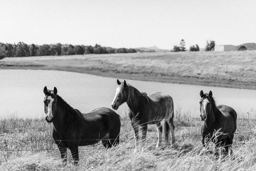 Horse Trio in B&W Photographic Art Print