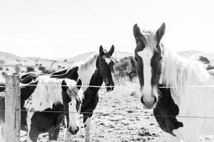 Paint Horse Trio in B&W Photographic Art Print