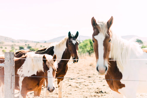 Paint Horse Trio Photographic Art Print