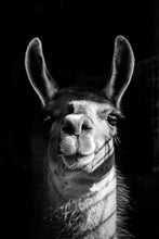 Llama in Black & White Photographic Art Print