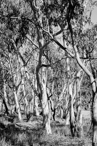 Australian Bush in Black & White Photographic Art Print