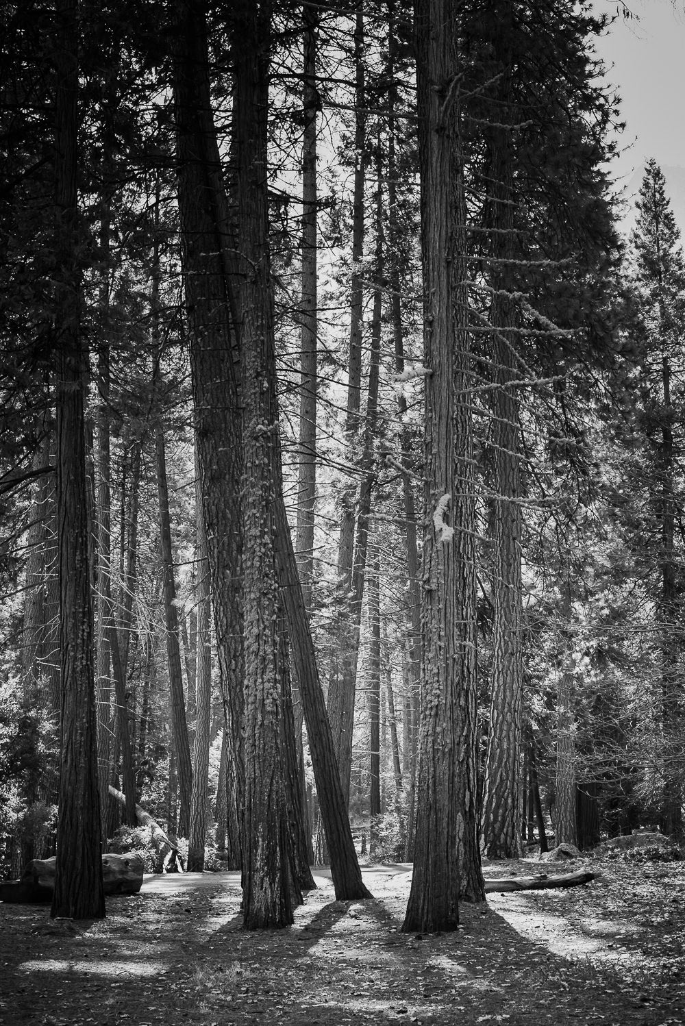 Red Wood Tree Forest B&W Photographic Art Print