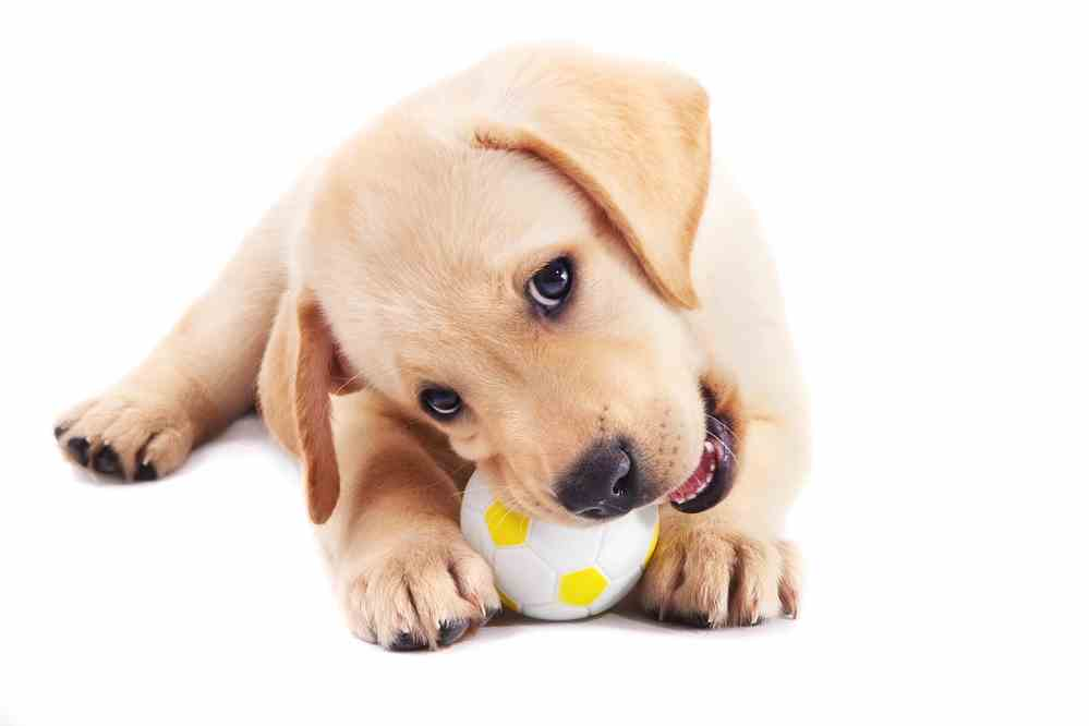 Puppy Teething: Relief Options to Survive the Teething Phase