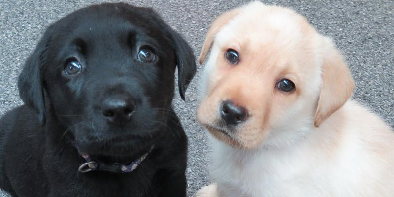 Seeing Eye Dogs Puppy Carer Info Session: Kensington June 15