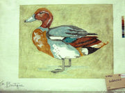 Red Headed Duck