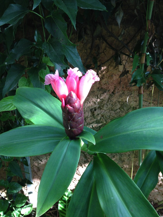 Cana do brejo -Costus Spicatus - Detox - Weight Loss - Antioxidant