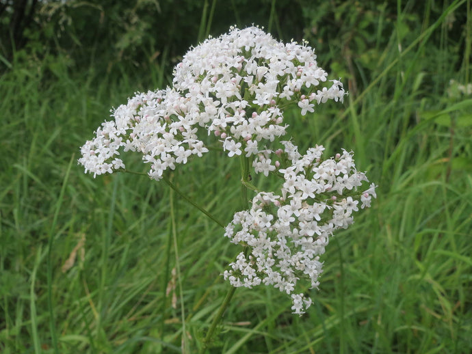 Valeriana - Insonmia - Reduce Anxiety