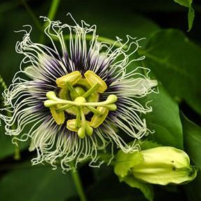 Passionfruit - Passiflora edulis  Organic - Fair-Trade - Cruelty- free  - Vegan