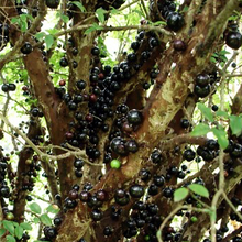 Jabuticaba Berry   Organic - Fair-Trade - Cruelty- free - Premium Superfood - Vegan
