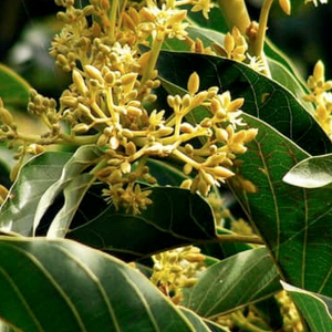 Muira Puama -Ptychopetalum olacoides - Boost Memory, fights anxiety, anti-depressant