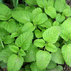 Lemon Balm -  Melissa officinalis  Organic - Fair-Trade - Cruelty- free