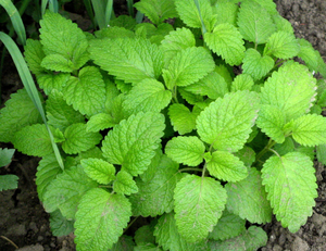 Lemon balm - Melissa officinalis