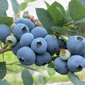 Blueberry - Cyanococcus shop now superfoods