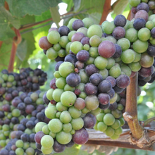 grapes  Organic - Fair-Trade - Cruelty- free  - Vegan