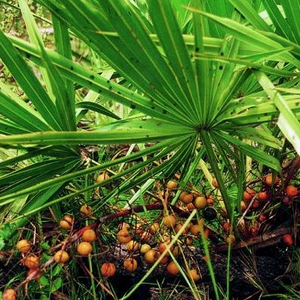 Saw palmetto Berry - Serenoa serrulata  Organic - Fair-Trade - Cruelty- free - Vegan