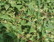 Fo-ti Root - Ho-Shou-wu - Polygonum multiflorum