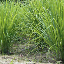 Lemongrass - Cymbopogon  Organic - Fair-Trade - Cruelty- free - Raw