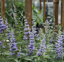 Vitex (Chaste) Berry - Vitex agnus-castus - Chaste tree  Organic - Fair-Trade - Cruelty- free  - Vegan