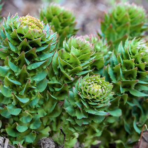 rhodiola plant, Adaptogenic and central nervous system
