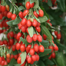 goji berries shop now