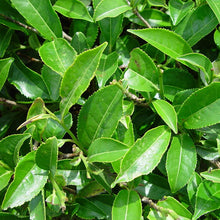 Green tea -  Camellia sinensis  Organic - Fair-Trade - Cruelty- free - Raw - Premium Superfood - Vegan