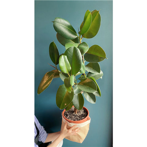 Plant # Ficus Extra large