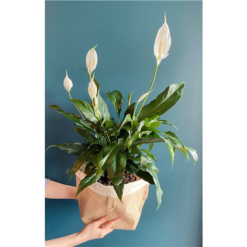 Plant # Peace Lily
