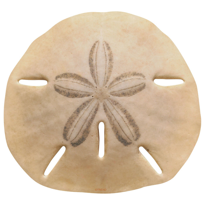T10075 Accent Sand Dollar