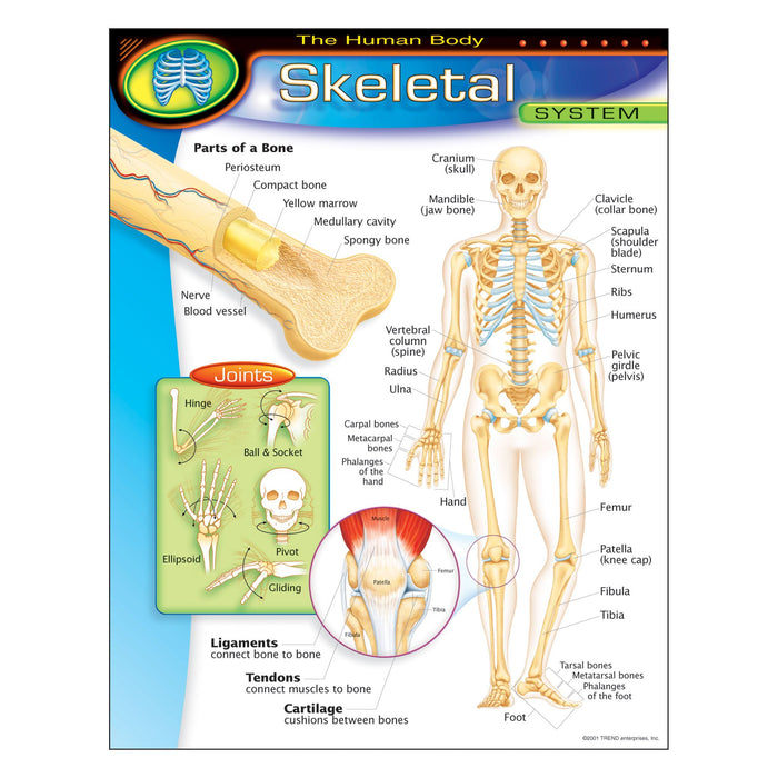 T38093 Learning Chart Human Body System Skeletal