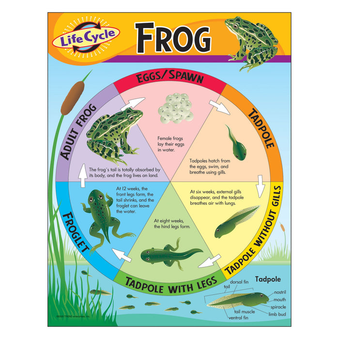 T38152 Learning Chart Frog Life Cycle