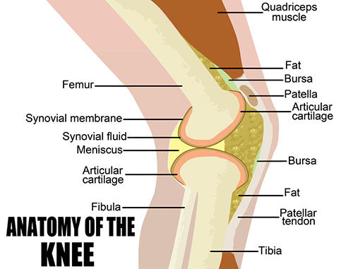 full anatomy of knee diagram
