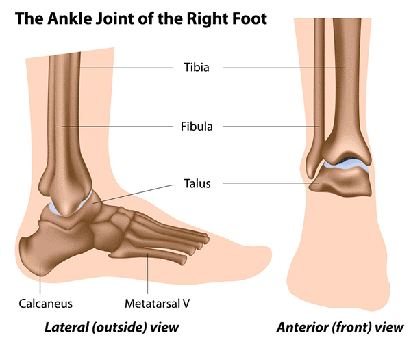 joints in the ankle