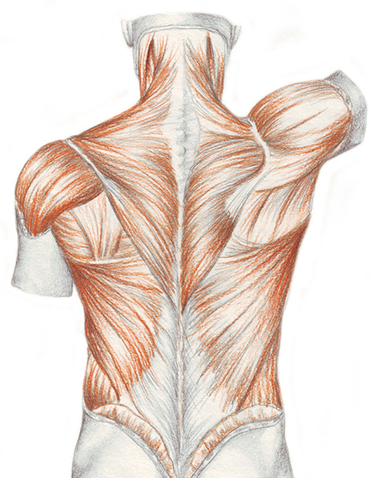 detailed view of the lower back muscles