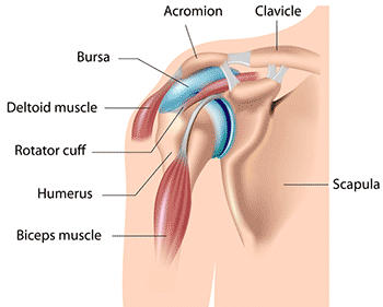 detailed view of the shoulder muscles, tendons and ligaments
