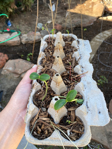 Growing seedlings from egg cartons and planting in vegetable garden