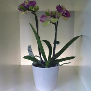 Mini Phalaenopsis Orchid - double stem