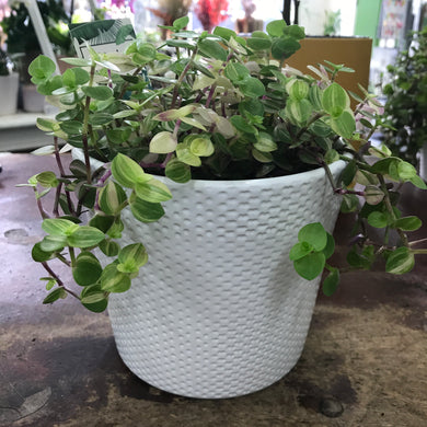 Sweet Bubbles Plant & Ceramic Pot