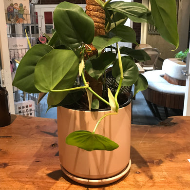 Heartleaf Philodendron Plant & Ceramic Pot