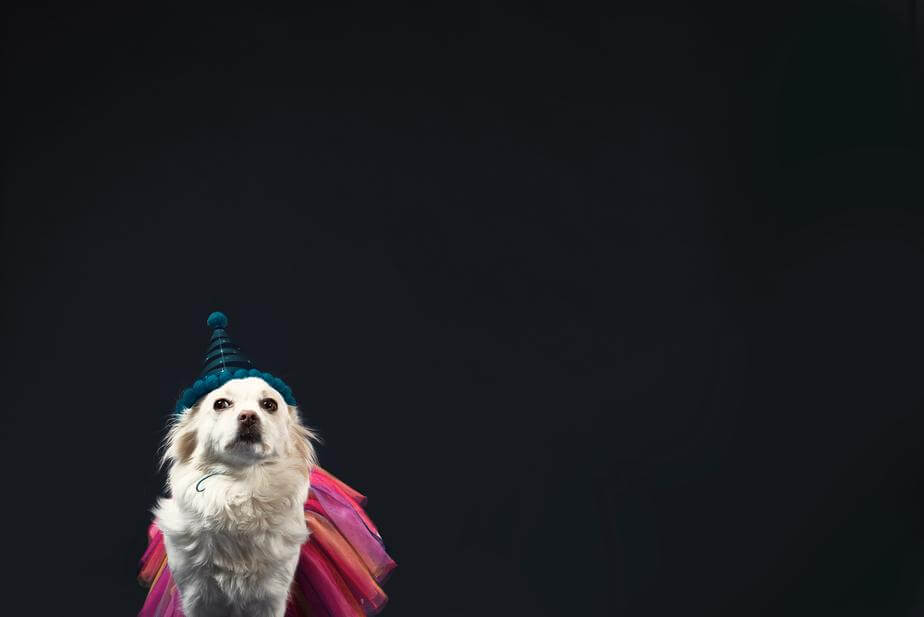 A white dog looks emotional in a wizard hat and princess dress