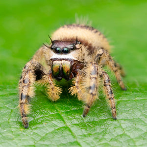 "Phidippus otiosus ""Orange Form"""