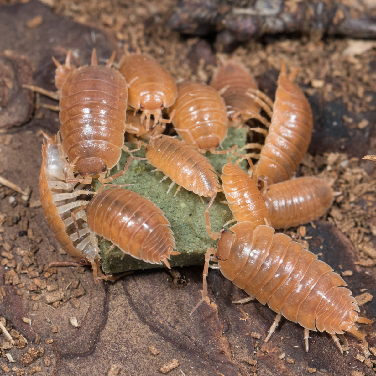 "Porcellio laevis ""orange"""