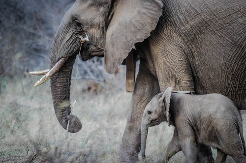 Mom elephant and baby elephant