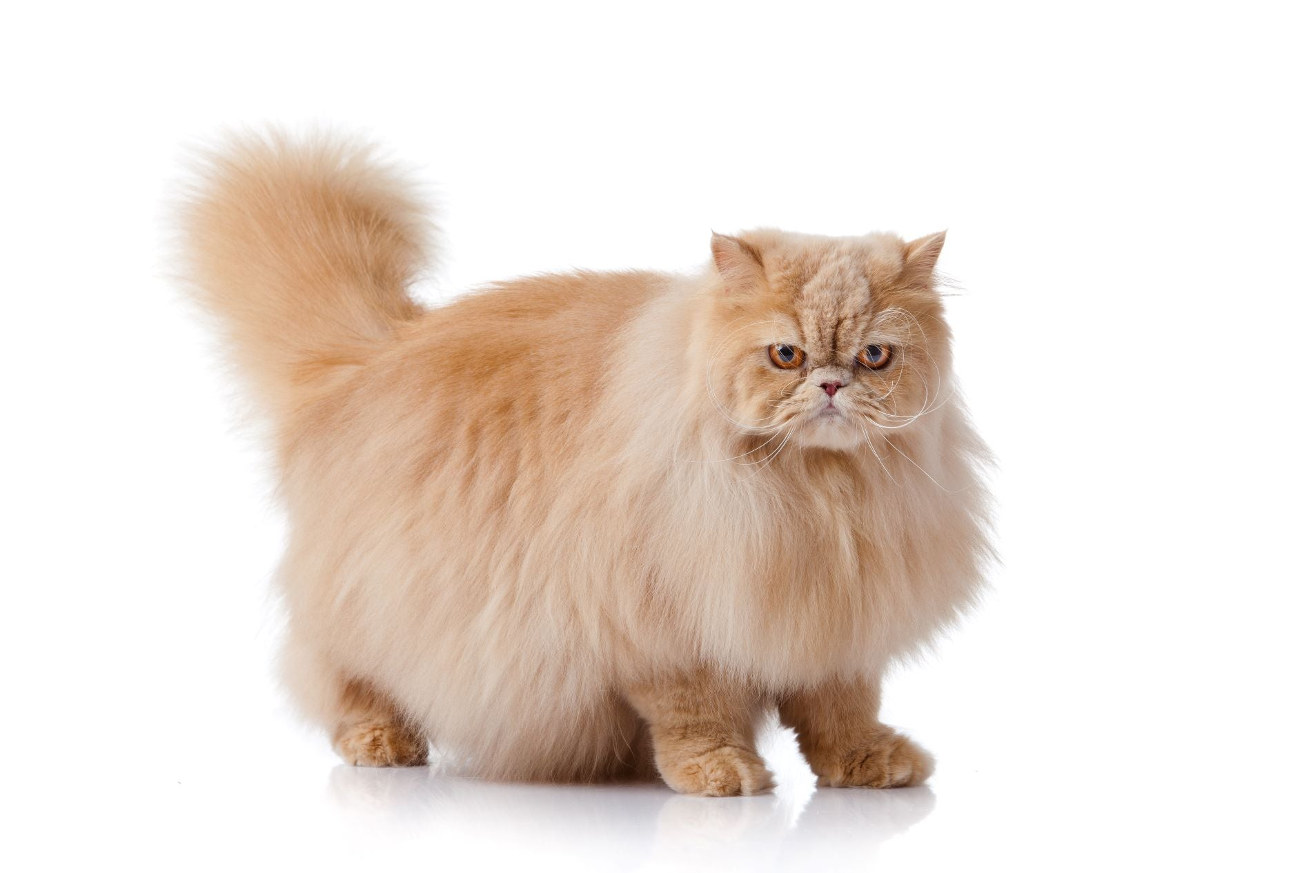 persian cat stand