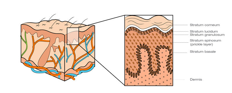 Skin layers of the epidermis (and dermis)