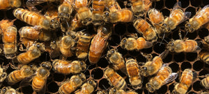 Honey Bee Information and FAQ's