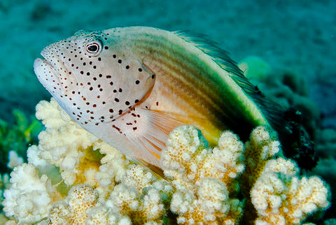 Forsters Hawkfish