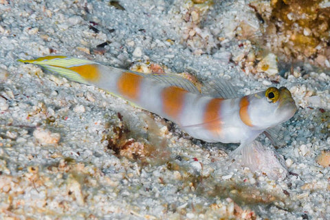 Flagtail Shrimp Goby and shrimp
