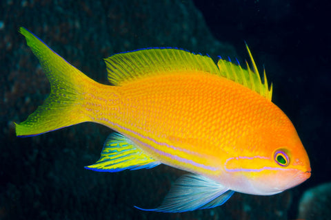Squareblock Anthias